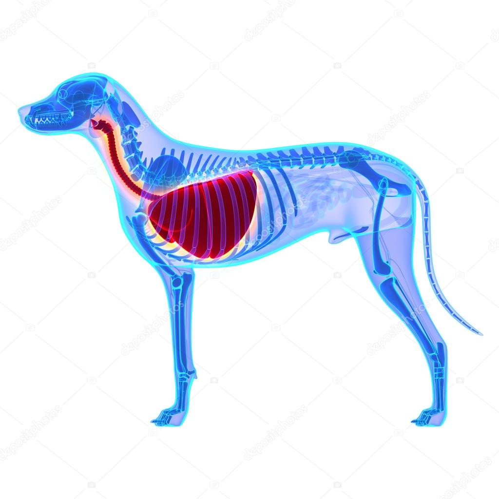 Dog Thorax Lungs Anatomy - Canis Lupus Familiaris Anatomy — Stock ...