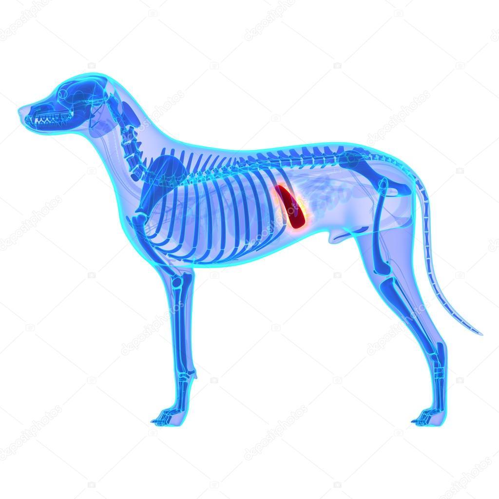 Hund-Milz - Canis Lupus Familiaris Anatomie - isoliert auf weiss ...