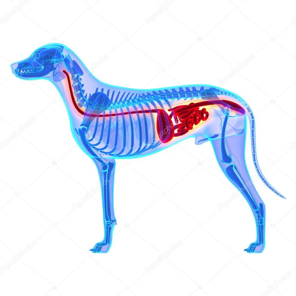 Sistema digestivo de perro - Canis Lupus Familiaris anatomía ...