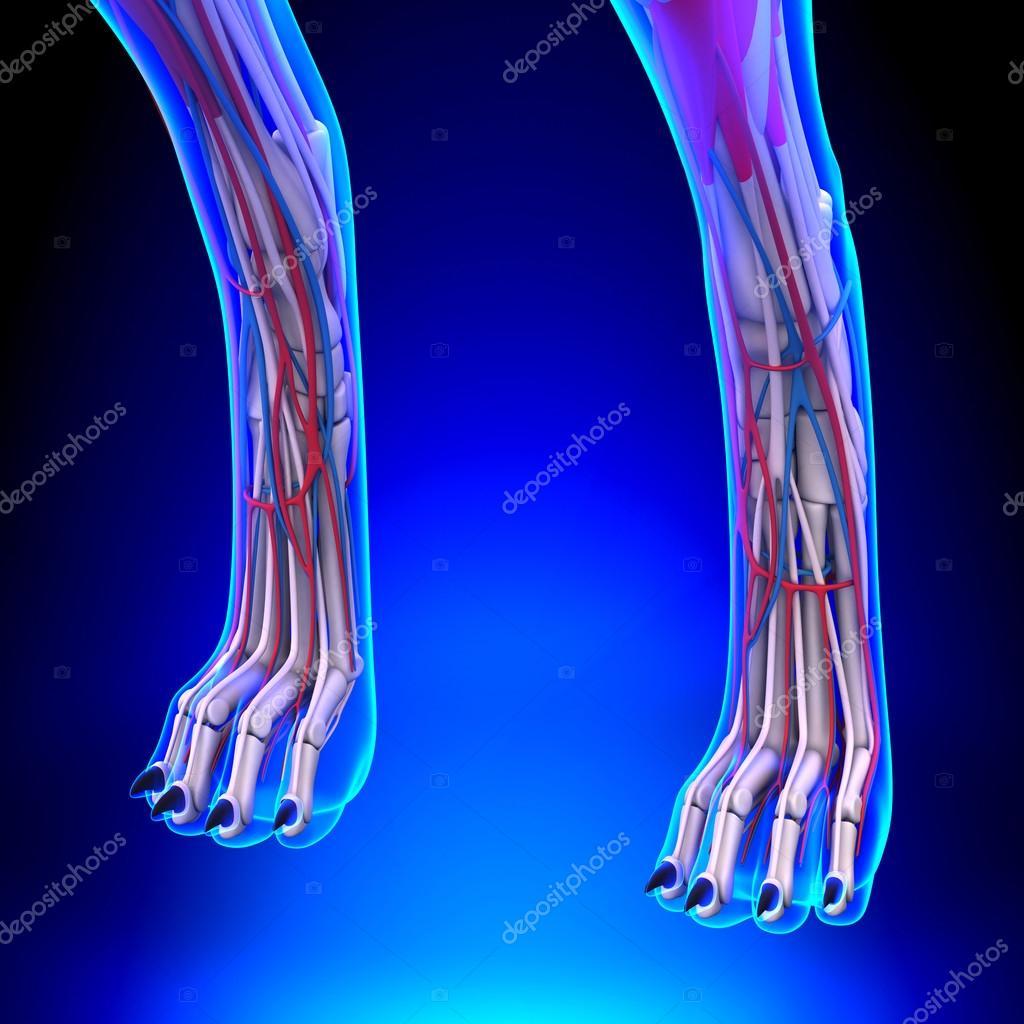 Dog Hind Legs Anatomy with Circulatory System — Stock Photo ...