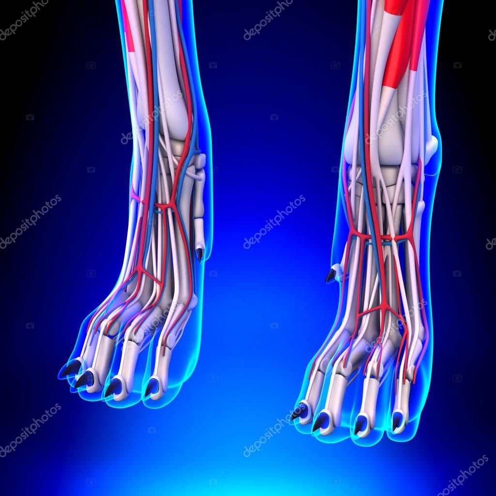 Anatomía de las patas delanteras de perro con sistema circulatorio ...
