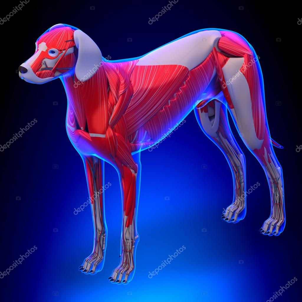 Dog Muscles Anatomy - Anatomy of a Male Dog Muscles — Stock Photo ...