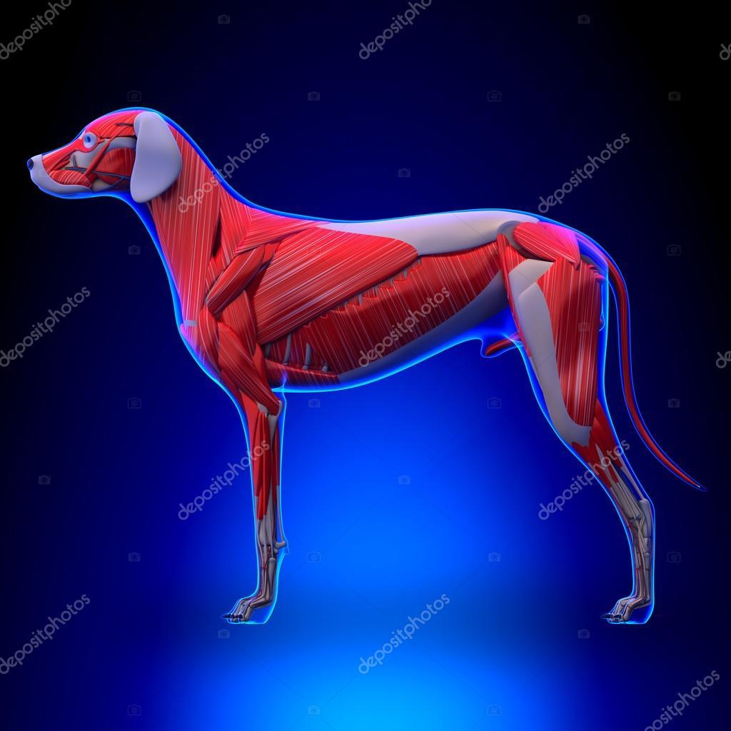 Anatomía de los músculos del perro - sistema Muscular del perro ...