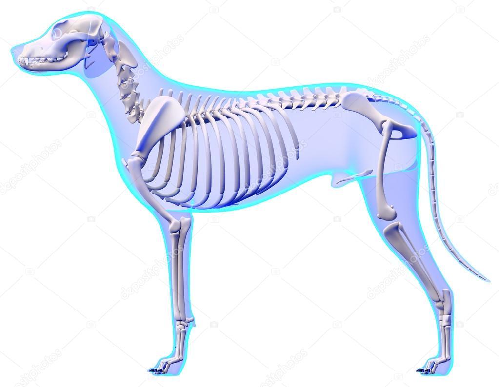 Perro esqueleto anatomía - anatomía de un esqueleto de perro macho ...