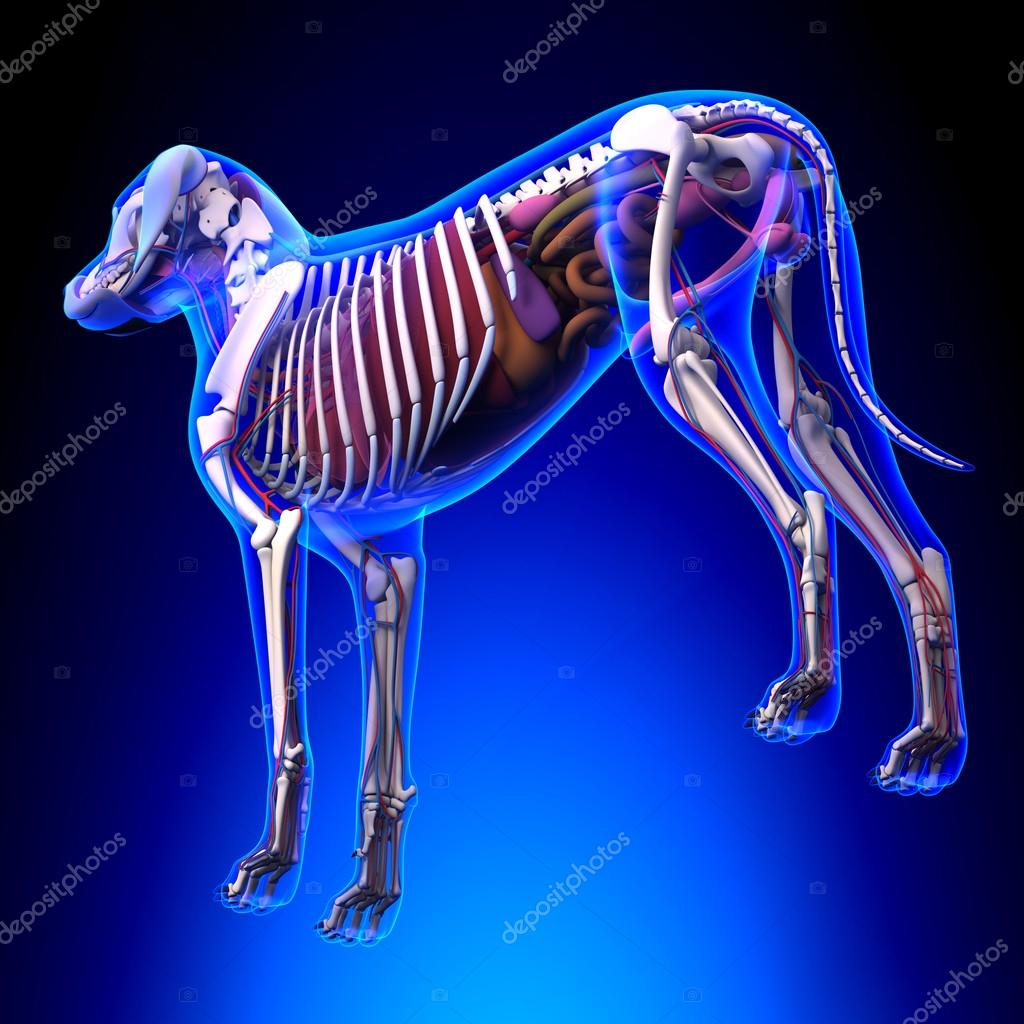 Hunde-innere Organe-Anatomie - Anatomie von einem männlichen Hund ...