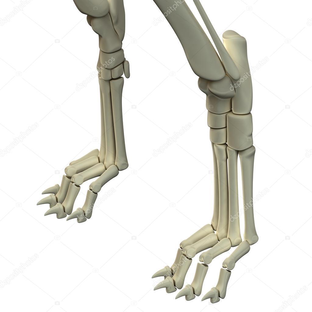 Huesos de anatomía de las patas delanteras de perro — Foto de stock ...