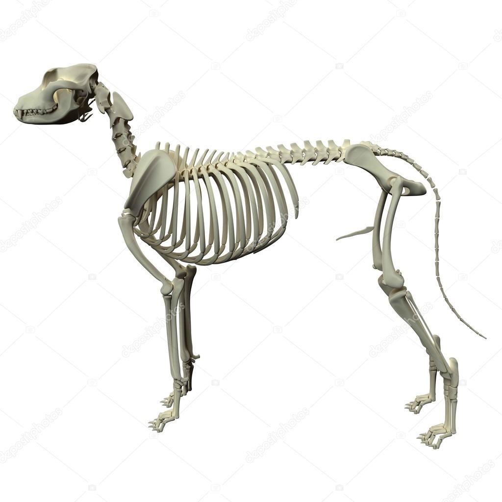 Hund Skelett Anatomie - Anatomie des Skelettes Hund — Stockfoto ...