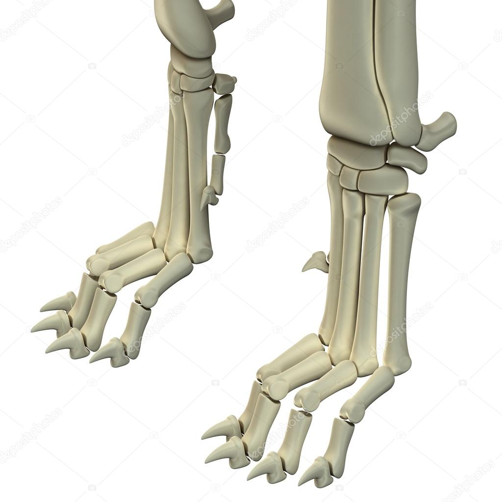Dog Hind Legs Anatomy Bones — Stock Photo © decade3d #71346937