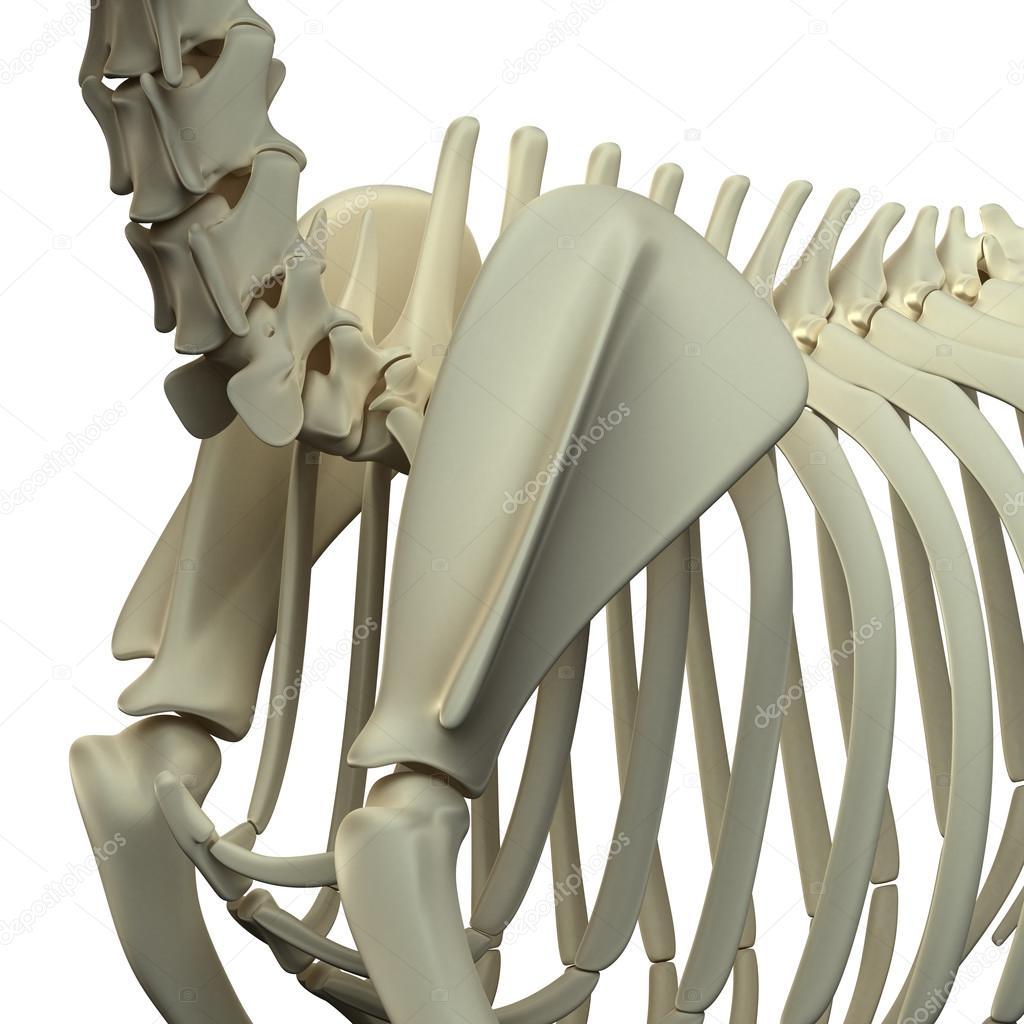 Hund-Scapula-Anatomie - Anatomie der eine eckzahn Scapula ...