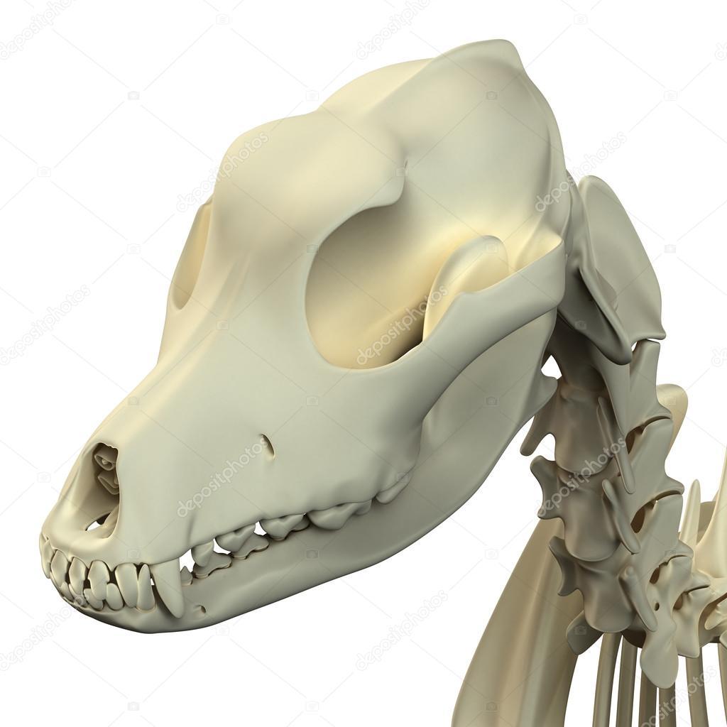 Anatomía del cráneo de perro - anatomía de un cráneo de perro macho ...