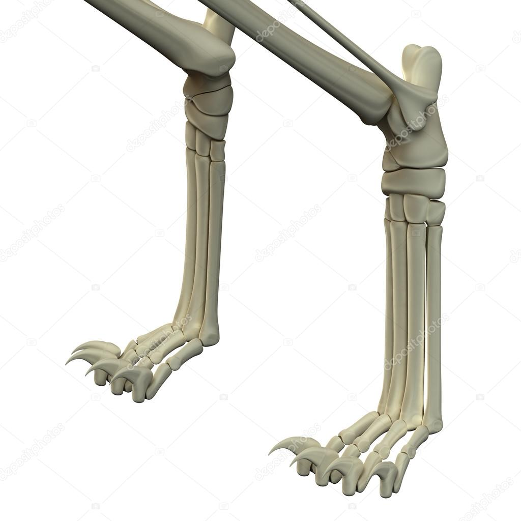Cat Front Legs Anatomy Bones — Stock Photo © decade3d #71346965
