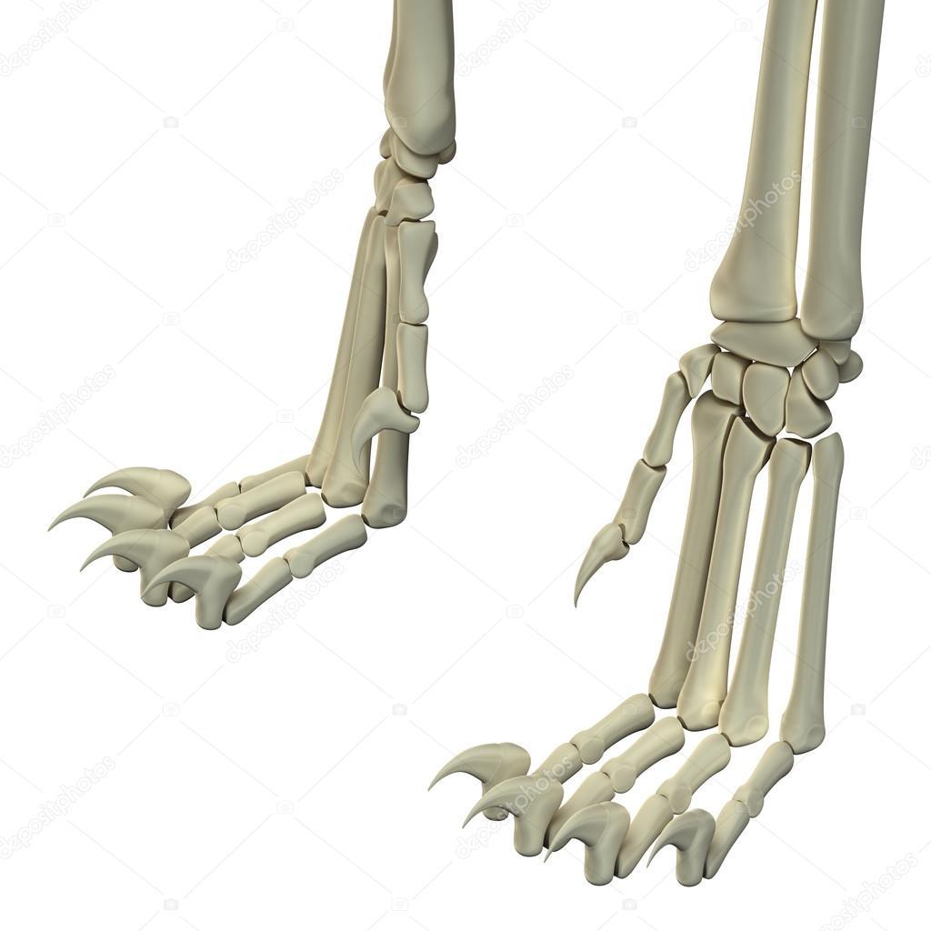 Cat Hind Legs Anatomy Bones Stock Photo Decade3d 71346981