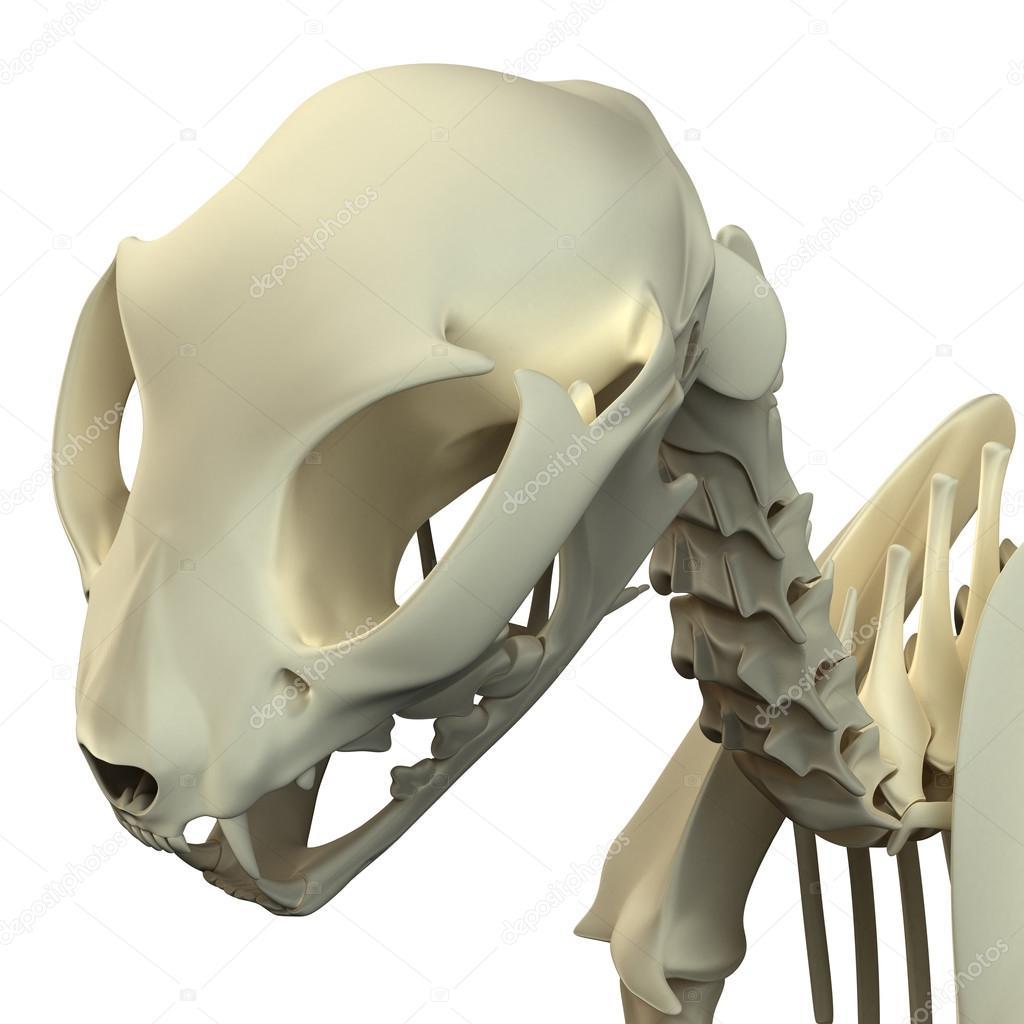 Anatomía cráneo - anatomía de un cráneo de gato del gato — Fotos de ...