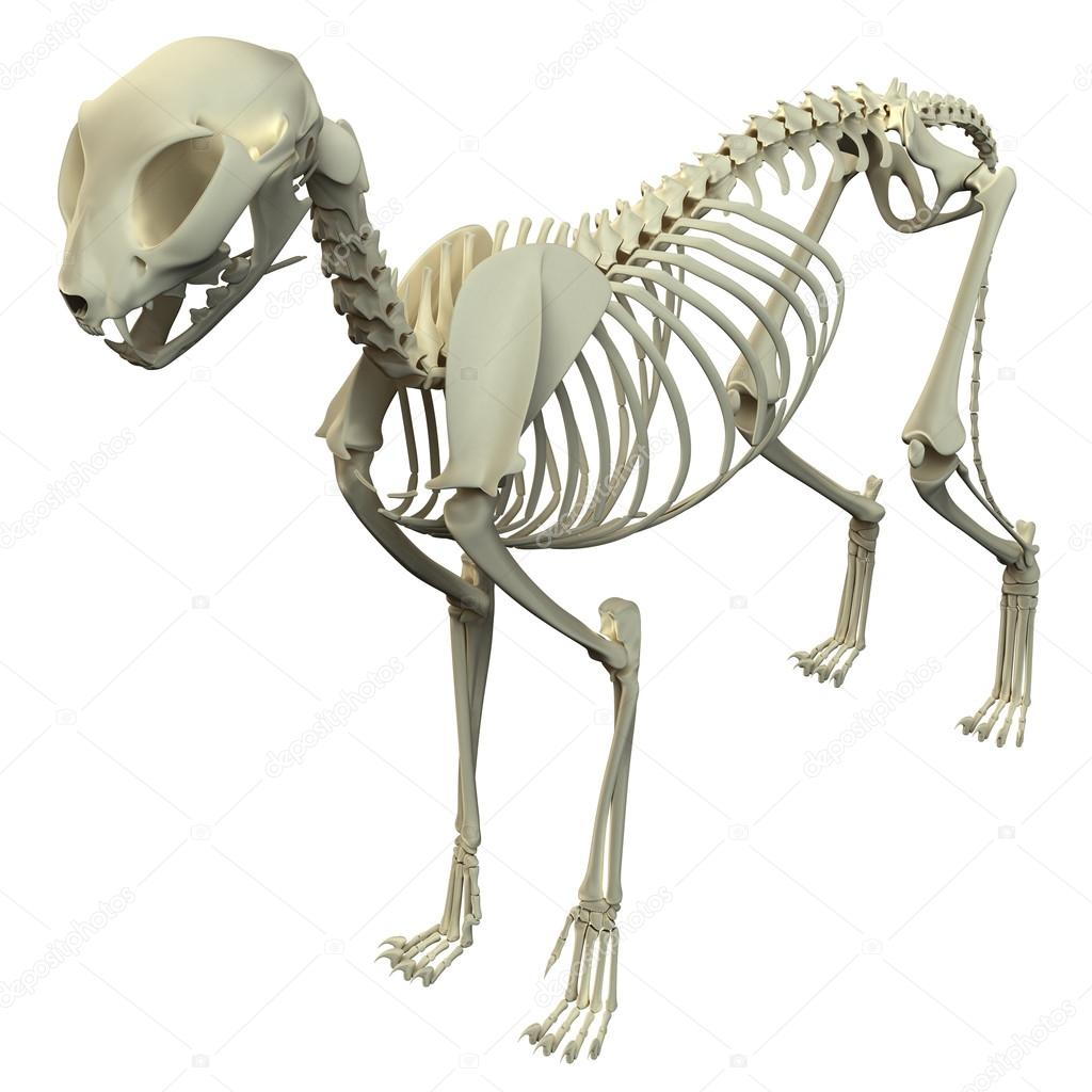 Cat Skeleton Anatomy - Anatomy of a Cat Skeleton — Stock Photo ...