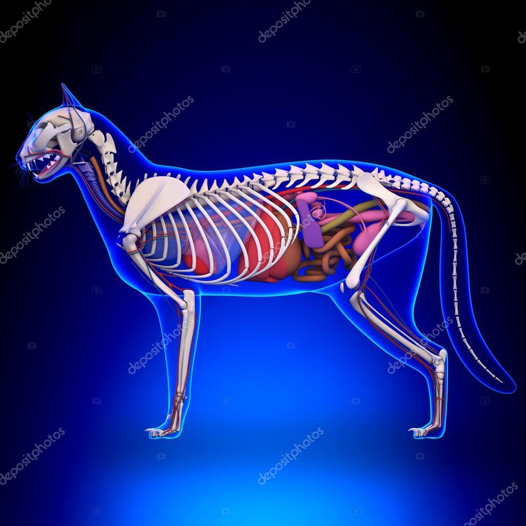 Katze-Anatomie - internen Anatomie einer Katze — Stockfoto ...
