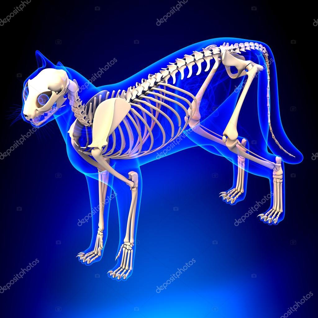 Gato esqueleto anatomía - anatomía de un esqueleto de gato ...