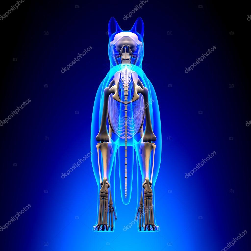 Vista posterior de esqueleto anatomía - anatomía de un esqueleto de ...