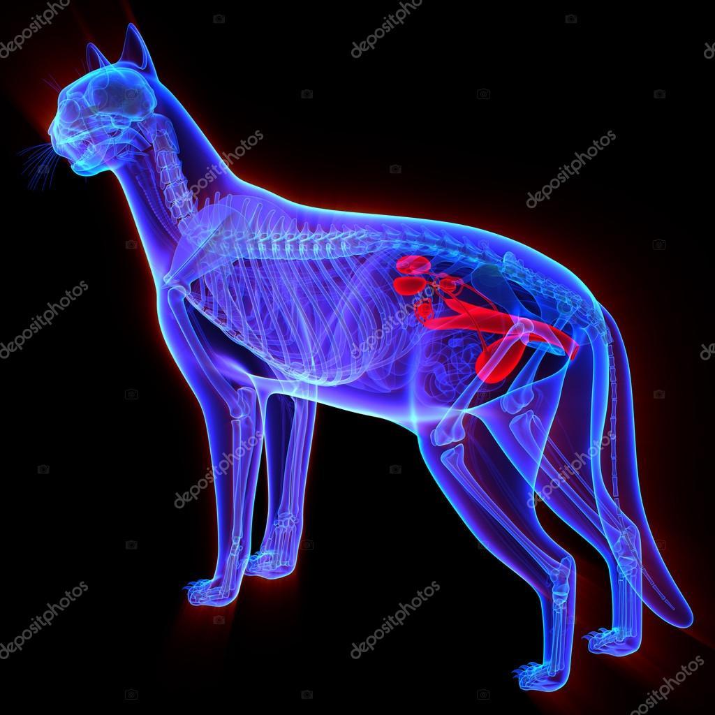 Sistema Urogenital de gato - Felis Catus anatomía - aislado en negro ...