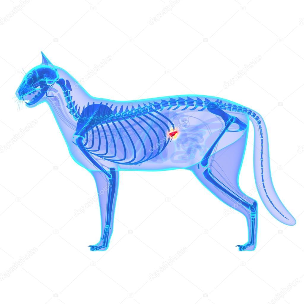 Gato páncreas anatomía - anatomía del Catus de Felis - aislado en ...
