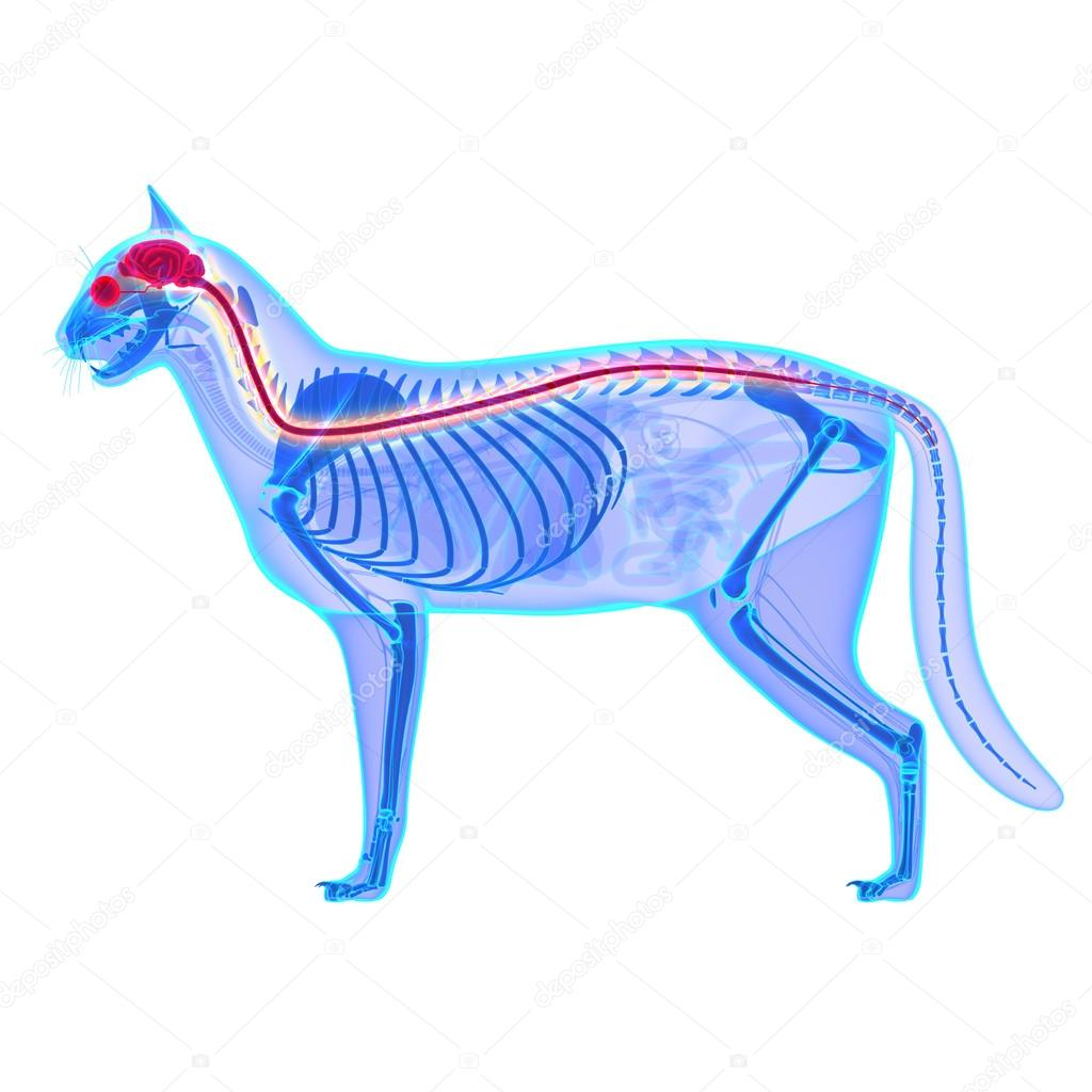 Sistema nervioso del gato - Felis Catus anatomía - aislado en blanco ...