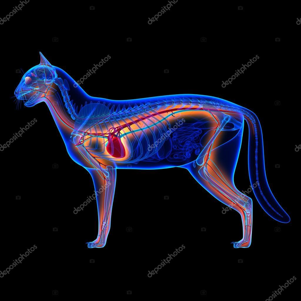 Corazón de gato - anatomía del sistema circulatorio aislado en negro ...