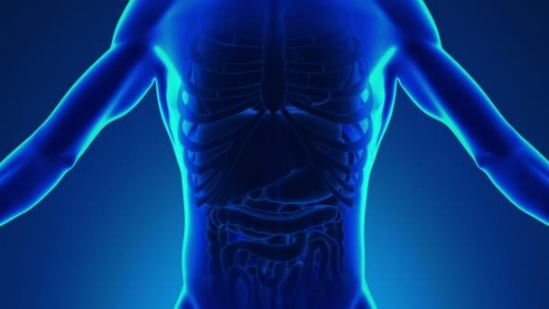 Anatomie člověka játra - lékařských rentgenových skenování