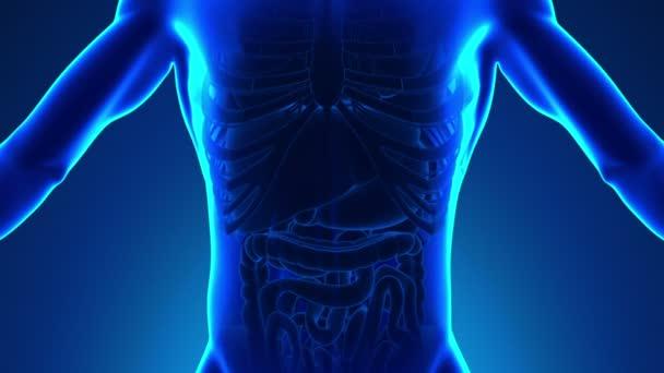 Anatomie člověka žlučník - lékařské X-Ray skenování