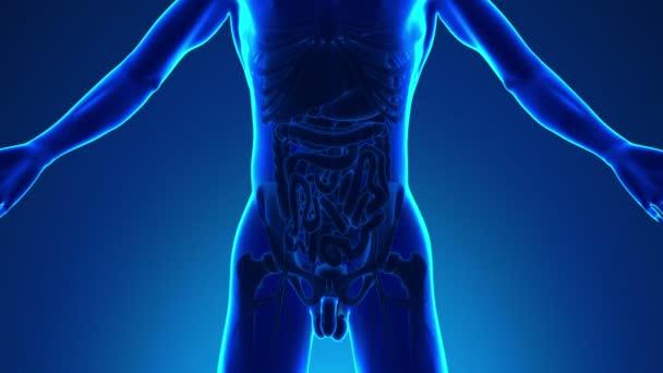 Anatomia dellintestino umano - Medical x-ray Scan