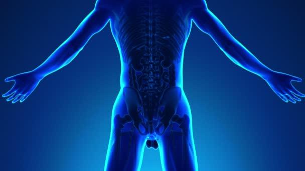 Anatomie lidské ledviny - lékařské X-Ray skenování