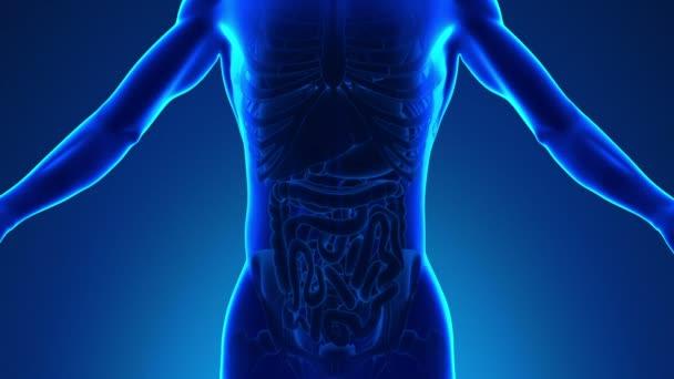 Anatomie lidského pankreatu - lékařské X-Ray skenování