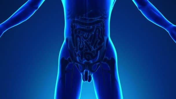 Anatomie lidského konečníku - lékařské X-Ray skenování
