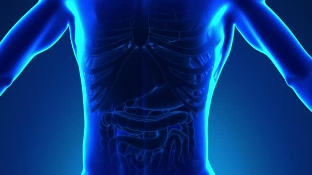 Anatomie lidského sleziny - lékařské X-Ray skenování