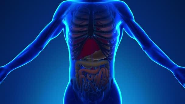 Anatomie lidského žaludku - lékařské X-Ray skenování