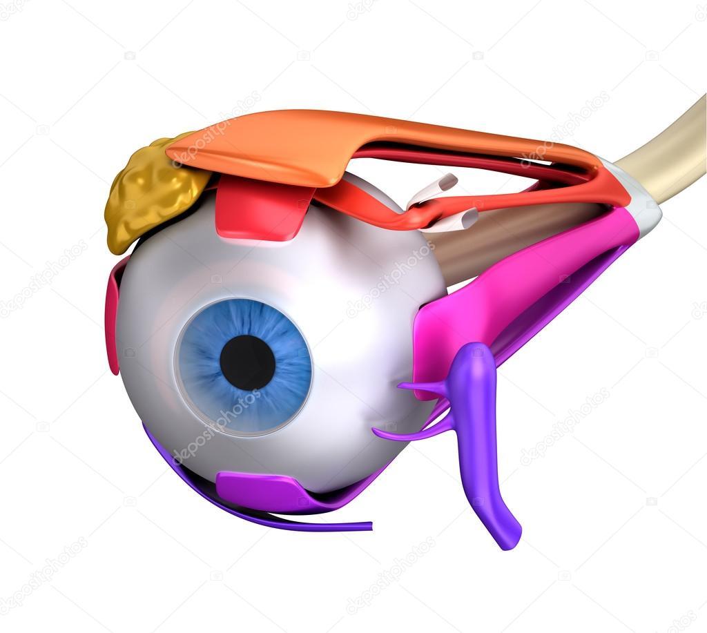 Los músculos del ojo anatomía humana - sección aislada en blanco ...