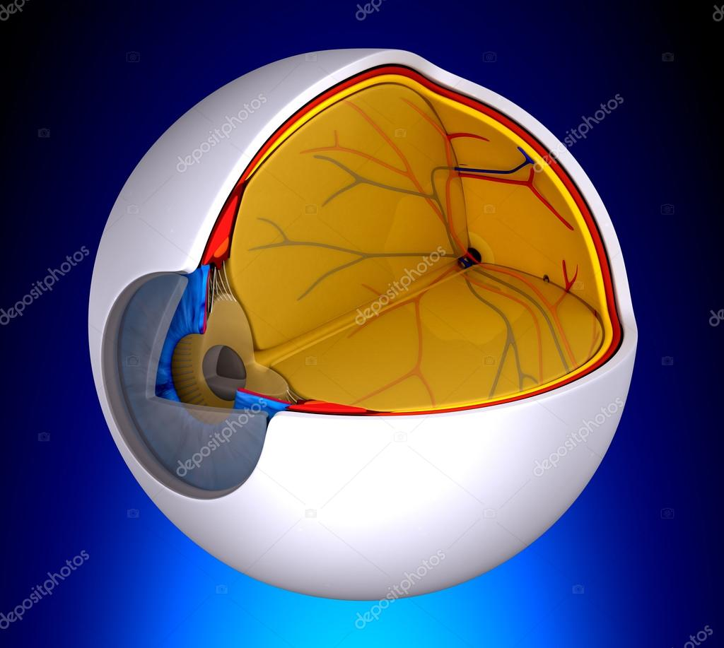 Sección transversal Real del ojo anatomía humana - sobre fondo azul ...