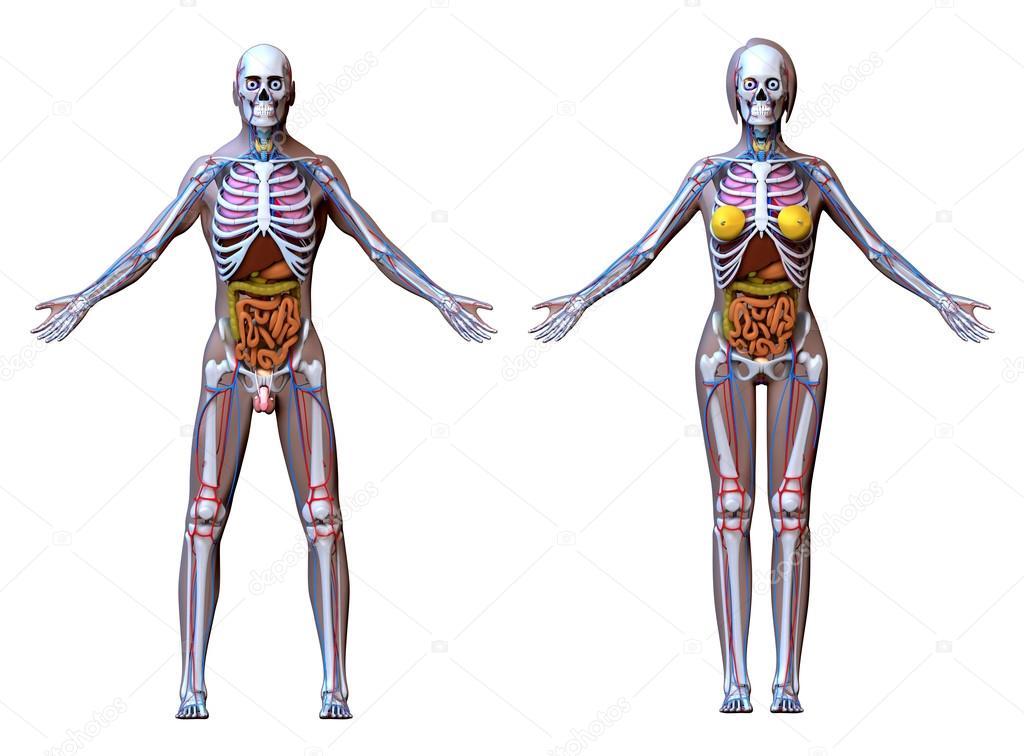 Anatomía hombre mujer - aislada en blanco — Fotos de Stock ...