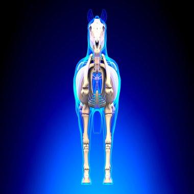 Horse Skeleton Front View - Horse Equus Anatomy - on blue backgr