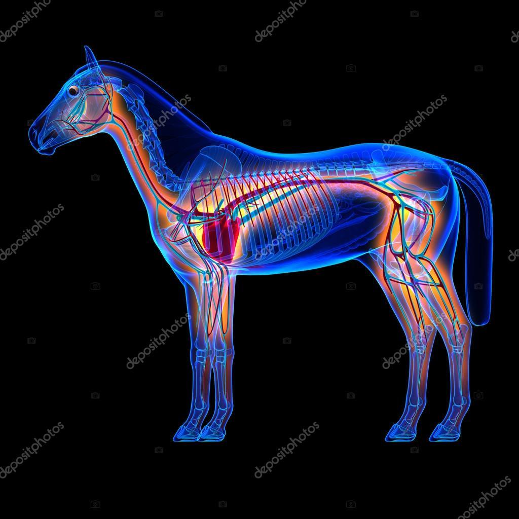 Pferd-Herz mit Blutkreislauf - Pferd Equus Anatomie auf bla ...