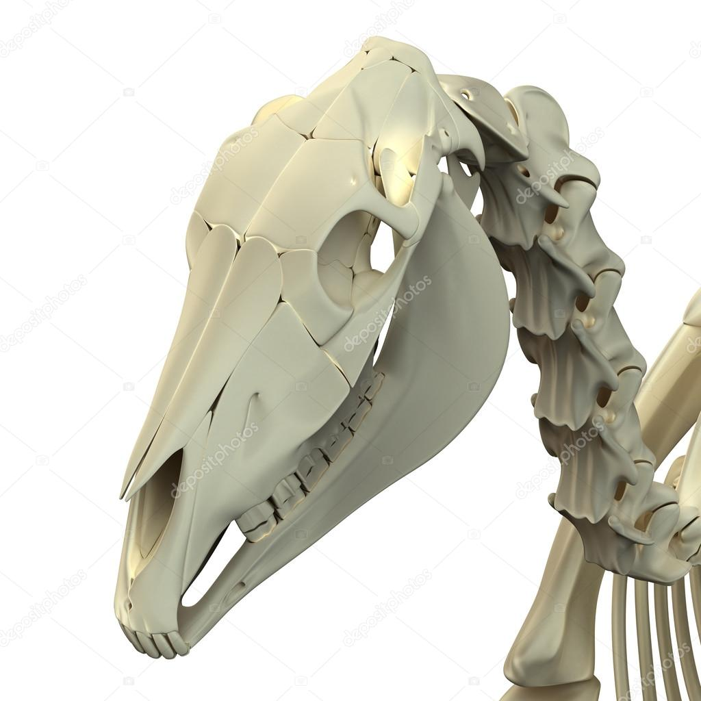 cráneo de calavera de caballo - anatomía de equus caballo - aislado ...