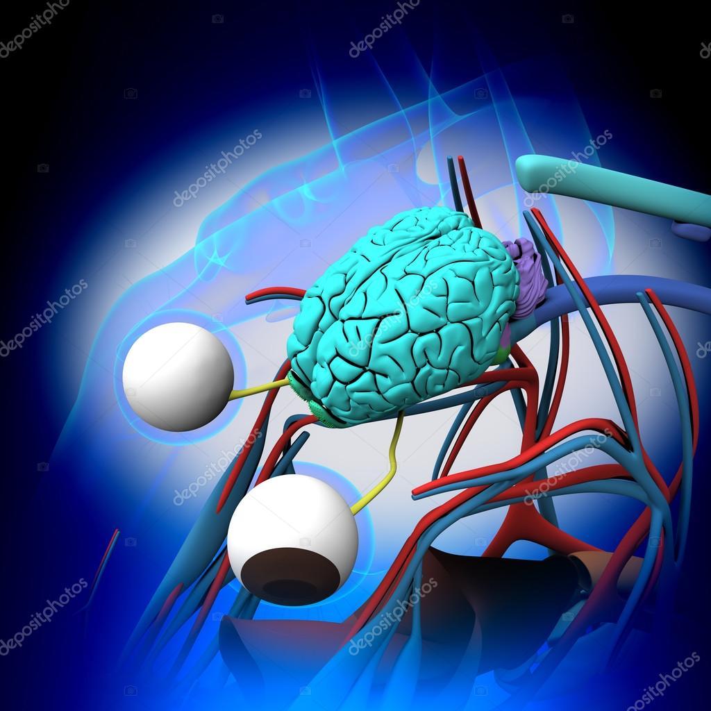 Pferd-Gehirn-Anatomie - Querschnitt auf blauem Hintergrund ...