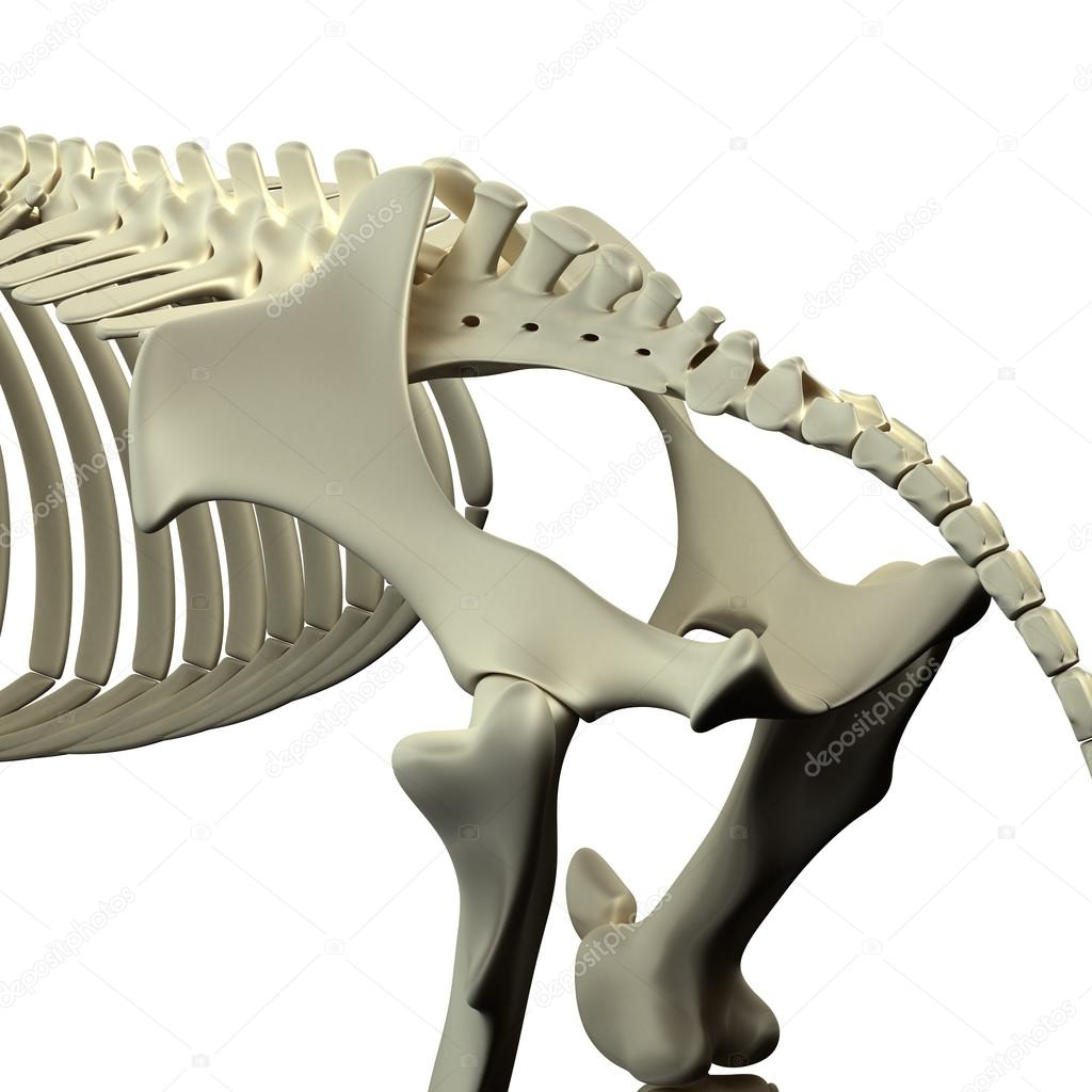pelvis del caballo - anatomía de equus caballo - aislados en blanco ...