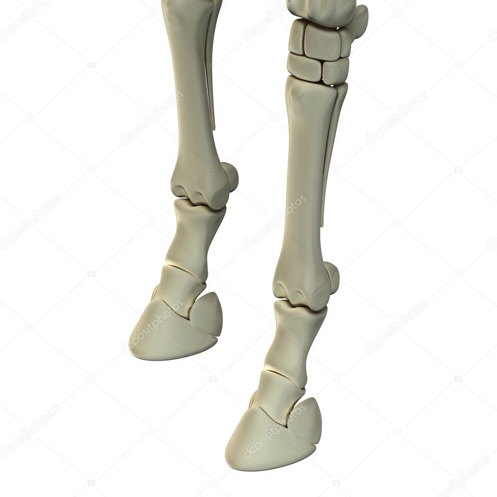 huesos de la pata delantera del caballo - anatomía de equus caballo ...