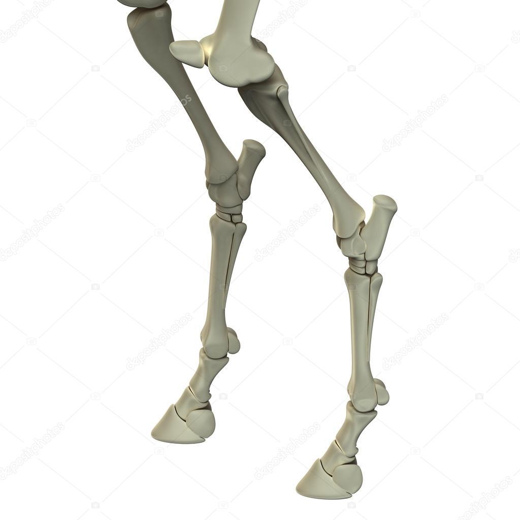 Horse Hind Leg Bones Horse Equus Anatomy Isolated On White