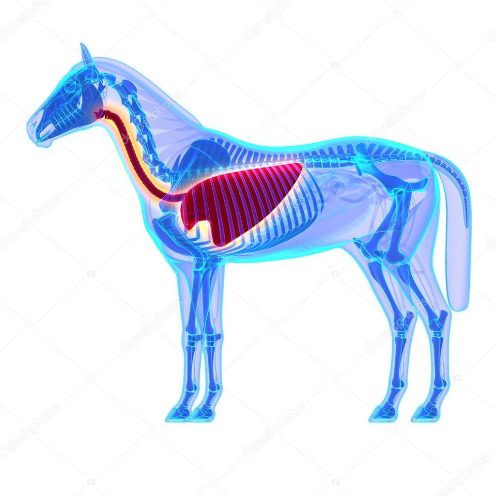 Pferd-Brustkorb - Pferd Equus Anatomie - isoliert auf weiss ...