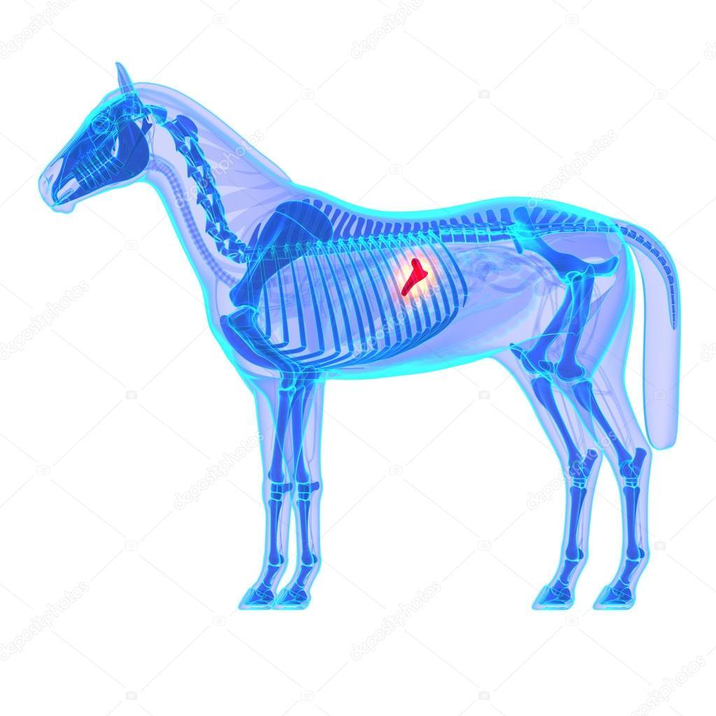 páncreas de caballo - anatomía de equus caballo - aislados en blanco ...