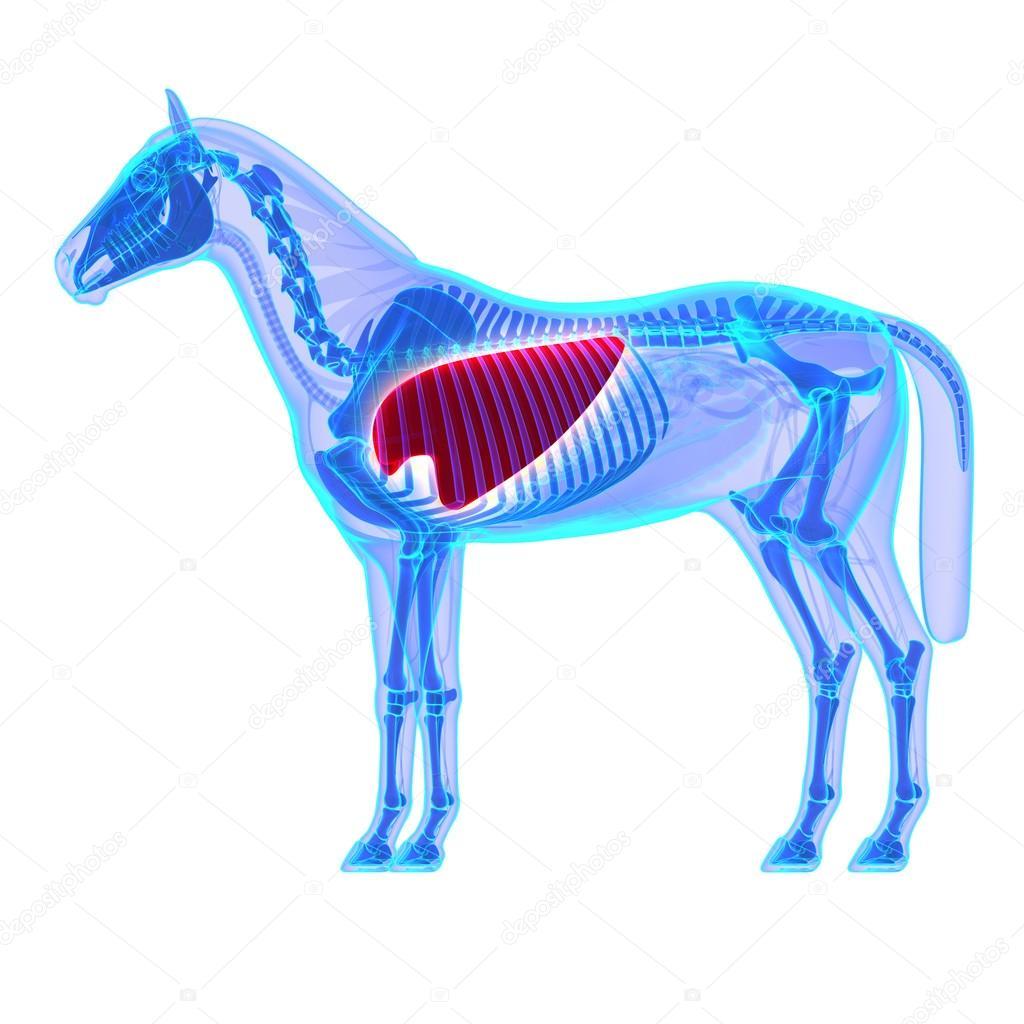 Pferde-Lunge - Pferd Equus Anatomie - isoliert auf weiss — Stockfoto ...