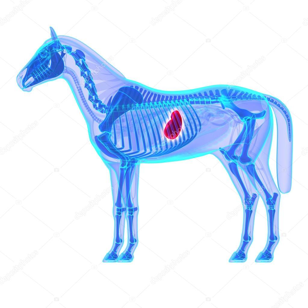 estómago del caballo - anatomía de equus caballo - aislado en blanco ...