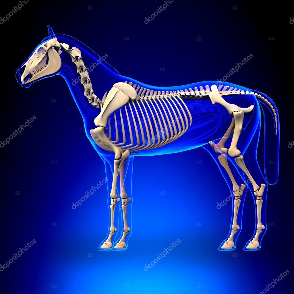 esqueleto de caballo - anatomía de equus caballo - sobre fondo azul ...