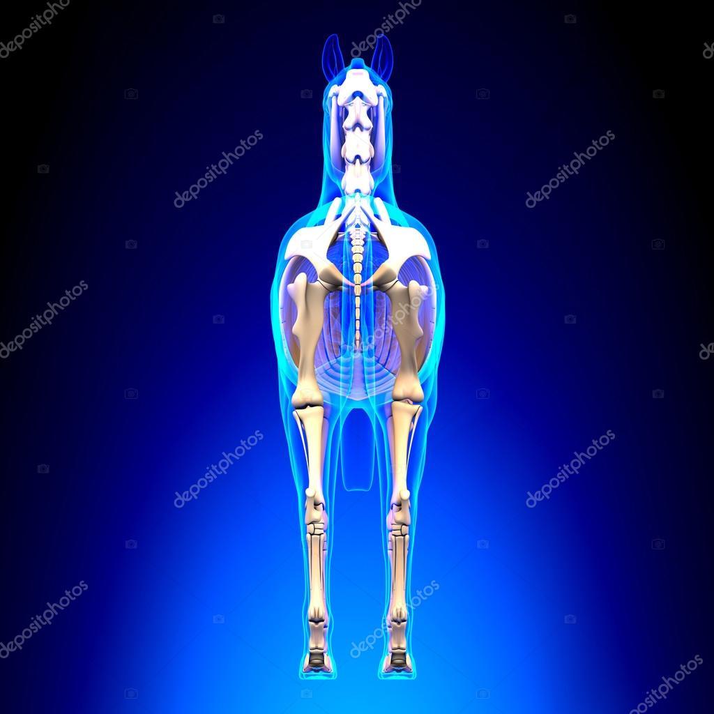 esqueleto de caballo nuevo ver - anatomía de caballo equus - azul ...