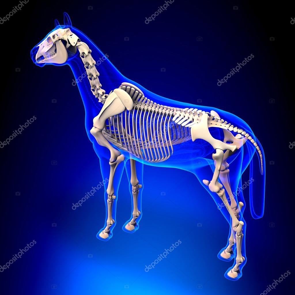 Horse Skeleton - Horse Equus Anatomy - on blue background — Stock ...